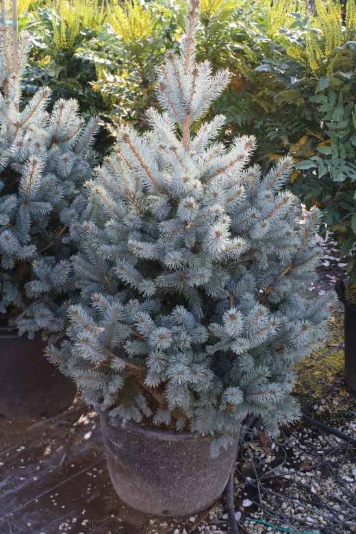 Blue-Spruce1-520x779