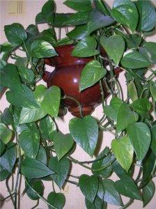 растения полезные для дома