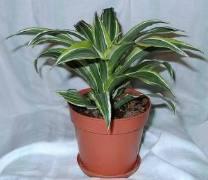 драцена полеозные растения для дома