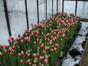 Советы по выгонке тюльпанов