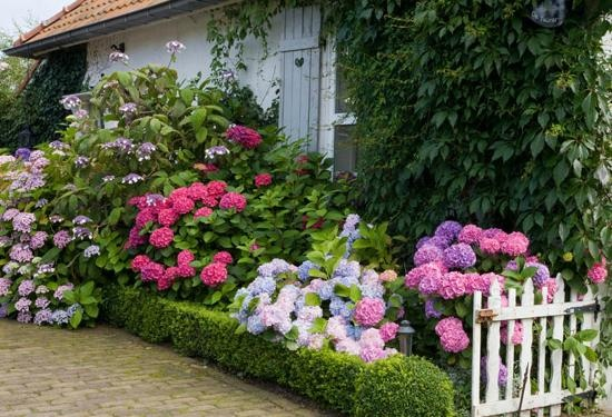 Фото гортензий в садах