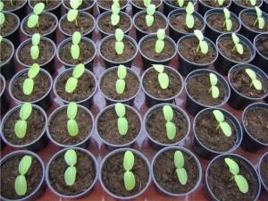 Огурцы условия выращивания