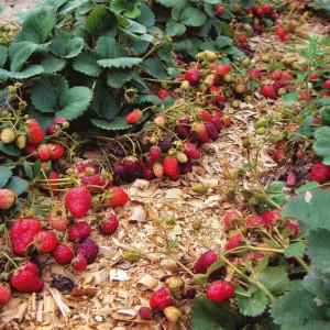 Домашнее выращивание клубники