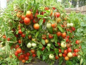 Как получить высокий урожай помидоров в открытом грунте, препараты роста.