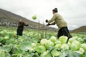 Как сохранить урожай капусты без потерь