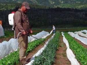 Как защитить капусту от вредителей народными средствами