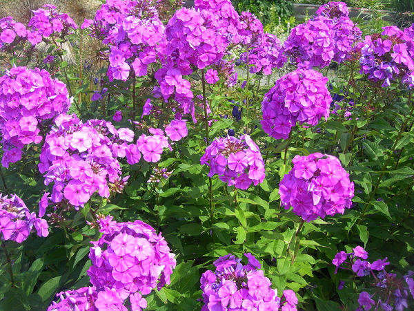 phlox-resized-600