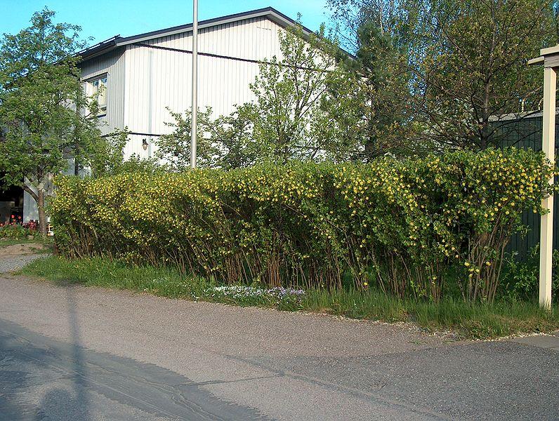 q_Ribes_aureum_hedge_Kultaherukka_kukkii_H3742_C