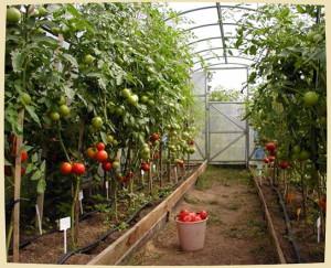 tomat_v_teplice