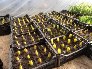Подготовка луковиц тюльпанов к высадке и температурный режим
