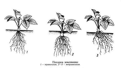 как сажать клубнику под пленку