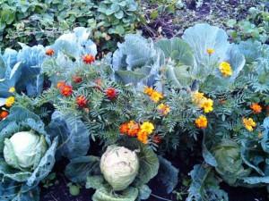Как защитить капусту от вредителей