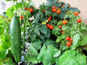 Когда сажать рассаду помидор