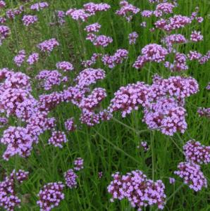 Дикие лесные цветы для сада