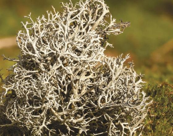 Цетрария Исландский мох