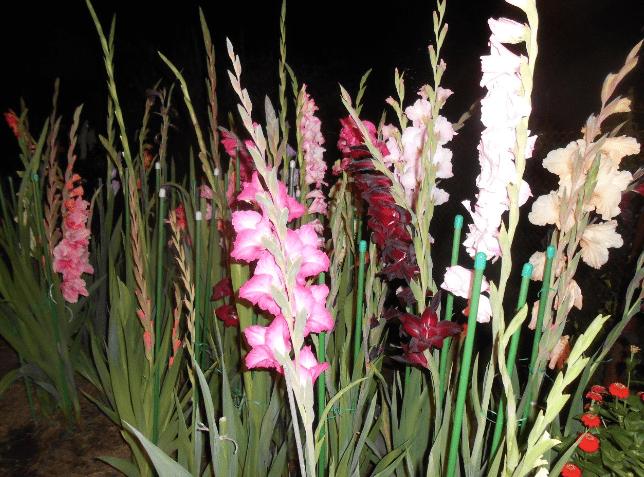 Гладиолусы секреты выращивания цветов